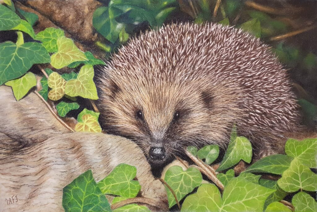 Hedgehog in the ivy by Ivan Jones, guest blogger for Pegasus Art.