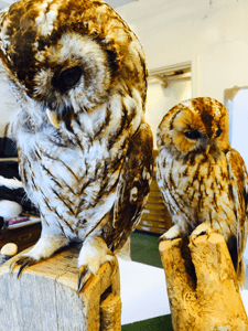 Paul Fowler drawing workshops two taxidermy owlls on branches